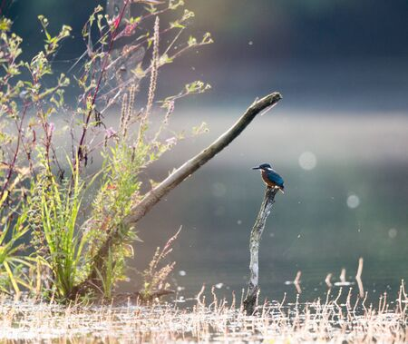 Common kingfisher bird standing on branch and hunting fish. Wildlife in natural habitat