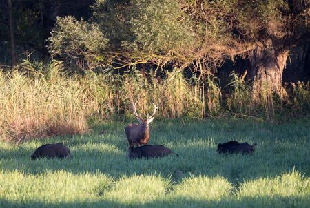Red deer and group of wild boar on meadow. Wildlife in natural habitat