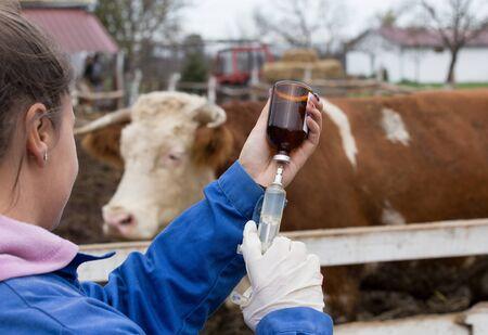 Joven veterinario preparando la jeringa delante de la vaca en el rancho