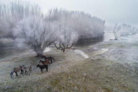 Aerial image of winter landscape of frozen river with horses on meadow, shoot from drone