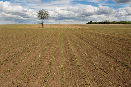 Rural landscape of corn field in spring 版權商用圖片 - 148169055