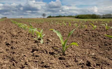 Close up of corn sprouts in field with blue sky and white clouds in background