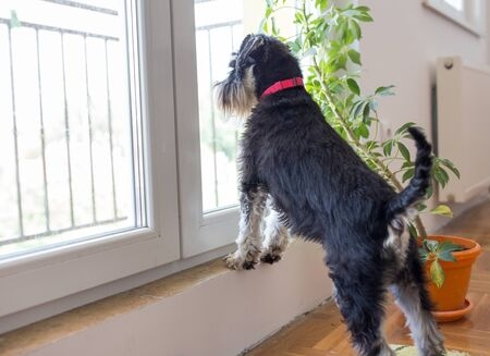 Cute dog Miniature schnauzer standing on balcony door and looking outside