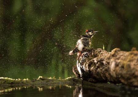 Great spotted woodpecker (dendrocopos major) having summer bath