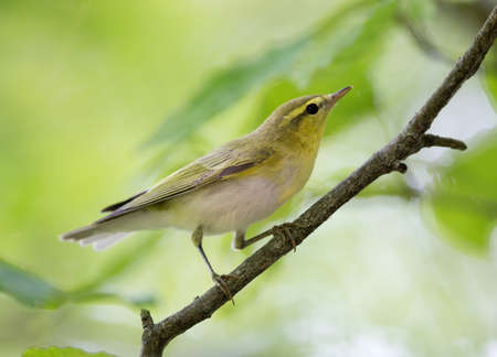 Beautiful yellow willow warbler perching on branch in summertime with blurred green background Archivio Fotografico