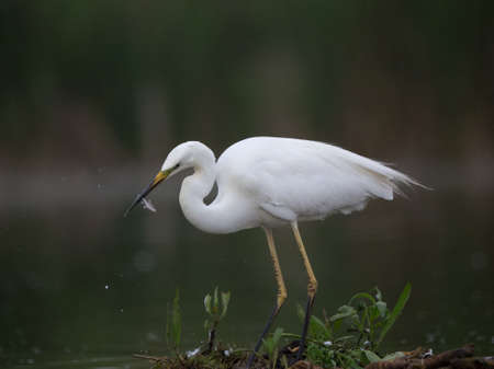 Portrait of small white heron bird (little egret) hunting and eating fish on river coast