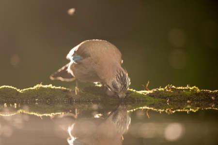Portrait of small bird eurasian jay (Garrulus glandarius) hunting in shallow water