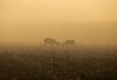 Young red deer with small antlers playing fight on meadow at foggy morning. Wildlife in natural habitat