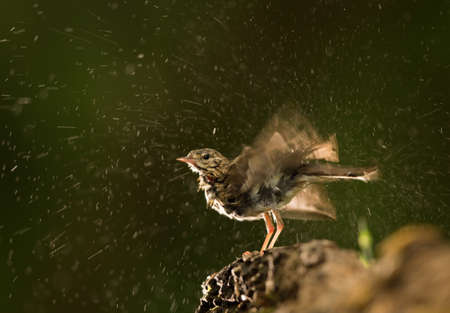 Wagtail bird (Motacilla) standing on stone beside water and drying after summer bathing Archivio Fotografico