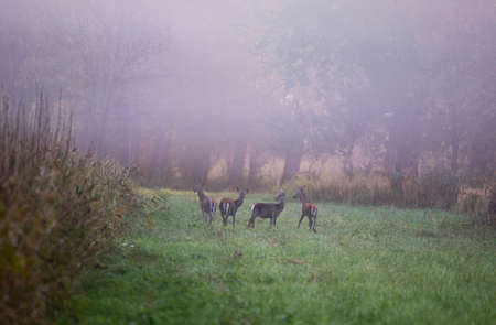 Group of hinds (red deer female) standing on meadow at foggy autumn morning. Wildlife in natural habitat