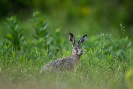 Wild rabbit (lepus europaeus) sitting on meadow. Wildlife in natural habitat Archivio Fotografico