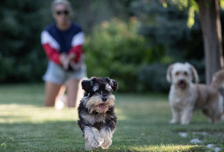 Two dogs playing and running on lawn in park with owner in background Archivio Fotografico