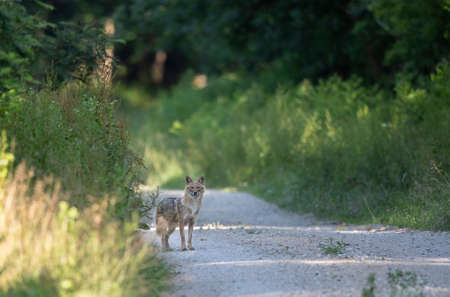Golden jackal, southeast europe wildlife animal, standing in forest, in natural habitat