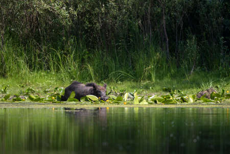 Wild boar (sus scrofa ferus) entering shallow water in forest. Wildlife in natural habitat