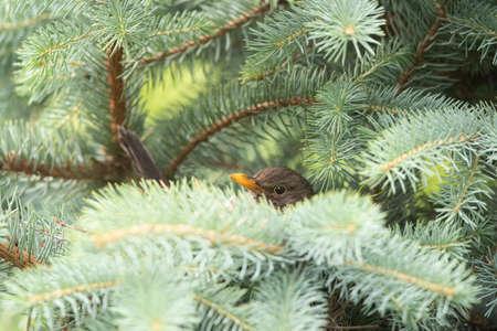 Common blackbird (Turdus merula) peeking on fir tree