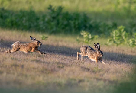 Two wild rabbits running and chasing on meadow. Wildlife in natural habitat