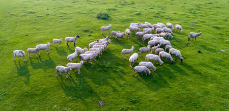 Top view of sheep flock on green grassland shoot from drone