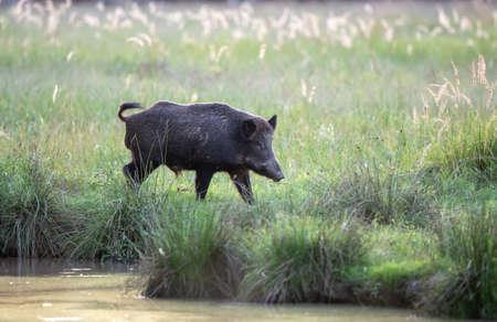Wild boar (sus scrofa ferus) walking on meadow beside river in summer time. Wildlife in natural habitat