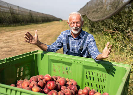 Satisfied senior farmer standing behind big plastic crate full of red cif apples in modern orchard with ant hail net above fruit trees Standard-Bild