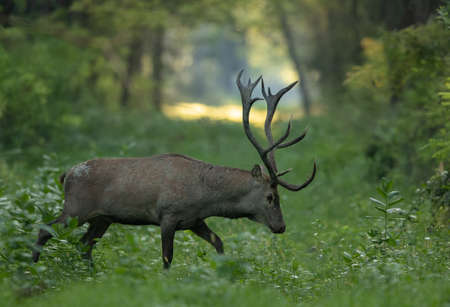 Mature red deer (cervus elaphus) with big antlers in forest. Wildlife in natural habitat Banco de Imagens