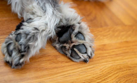 Close up of dog paw while sleeping on parquet floor