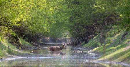 Red deer with growing antlers walking in shallow river in forest in springtime. Wildlife in natural habitat Archivio Fotografico
