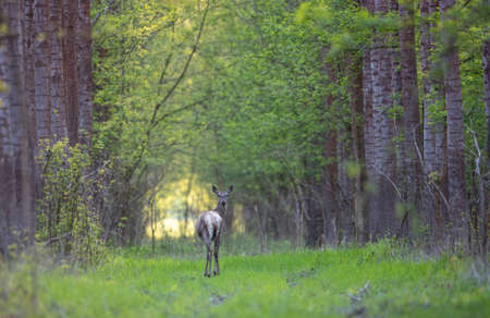 Female red deer standing in forest and looking at camera. Wildlife in natural habitat in spring