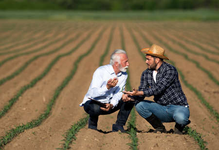 Men crouching in corn field talking showing. Farmer and businessman explaining pointing worried. Archivio Fotografico