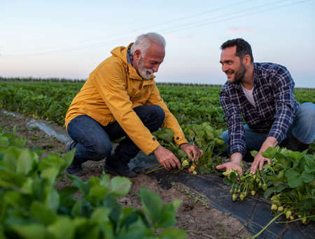 Two farmers crouching in field looking at strawberries. Men showing inspecting fruit proud satisfied smiling.