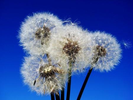 Dandelion lat. taraxacum