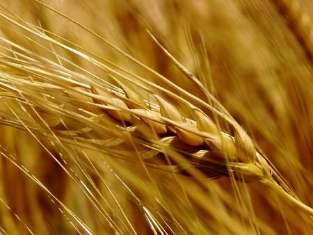 黄金の麦畑 写真素材