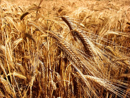 Barley field in sepia tone.                                Stock Photo
