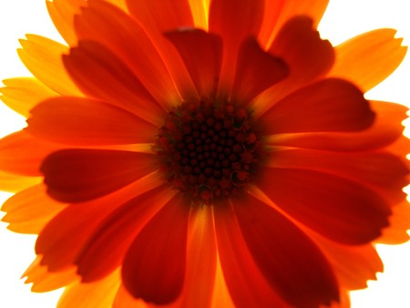 a detail of an orange red flower                                Stock Photo