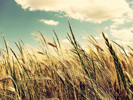 ゴールデン小麦トウモロコシ畑