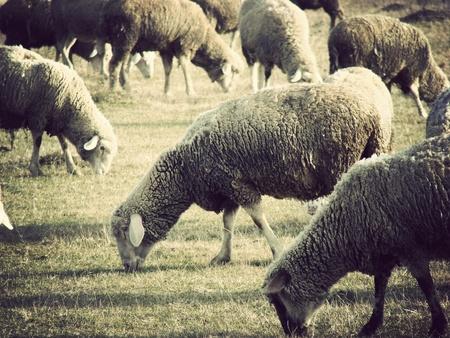 vintage sheep flock