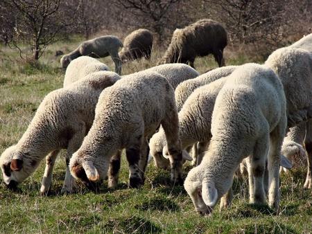 sheep flock Stock Photo - 12598879