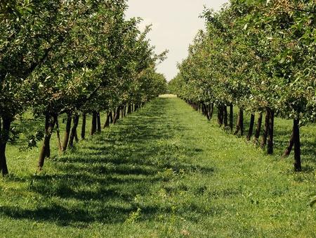 美しいリンゴ園の両側で行