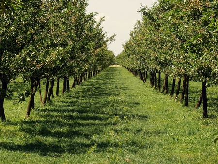 Beautiful apple orchard in a row at both sides