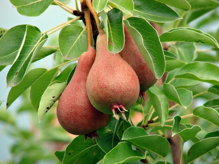 pears  Pyrus                                 Stock Photo