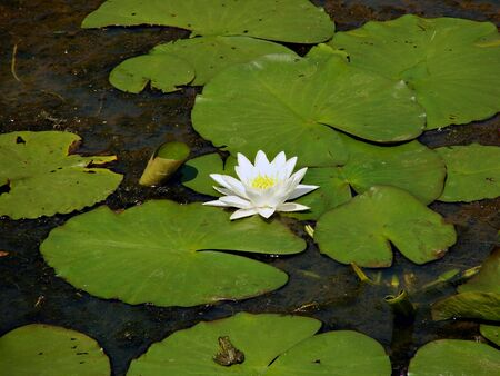 watergarden: beautiful lily in the pond