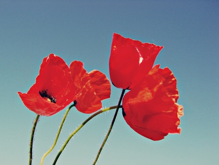 papaver: Opium poppy, Papaver somniferum