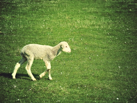 a young cute lamb on pasture photo