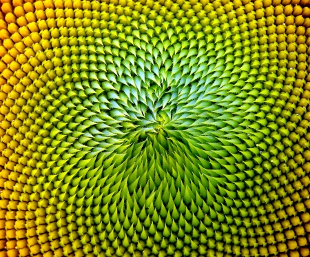 beautiful warm sunflower close