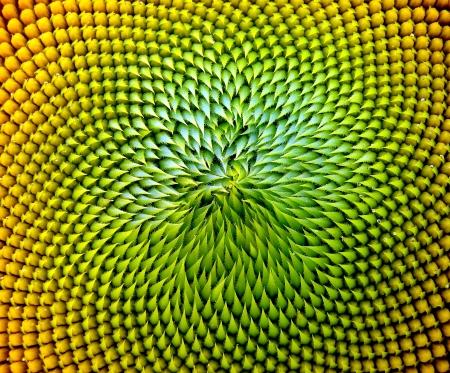 semillas de girasol: cierre hermoso girasol caliente Foto de archivo