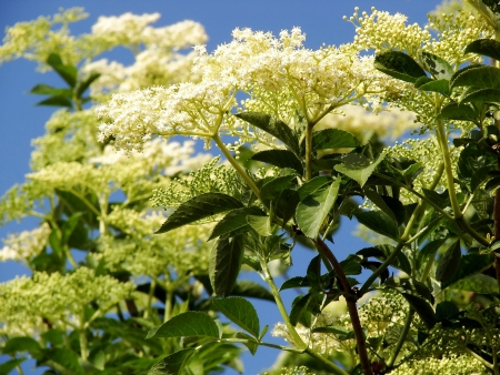 elder tree: Elder is commonly used in herbal medicine  Good for respiratory problems