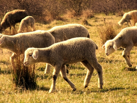 sheeps on pasture photo