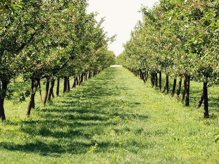 Beautiful apple orchard in a row at both sides  photo