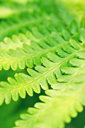 Closeup of lush green leaves of fern plant  photo