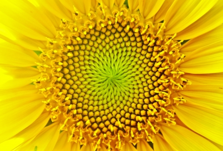 abstract flowers: sunflower