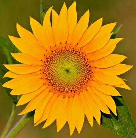 golden ratio: girasol